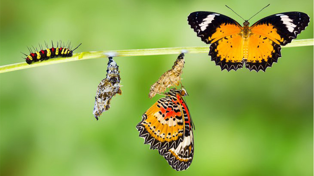 Metamorphosis of caterpillar to chrysalis and to butterfly.